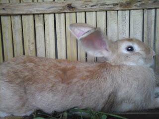 Jenis kelinci pedaging yang unggul yang siap diternakan
