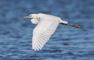 Little Egret - Woodbridge Island Cape Town