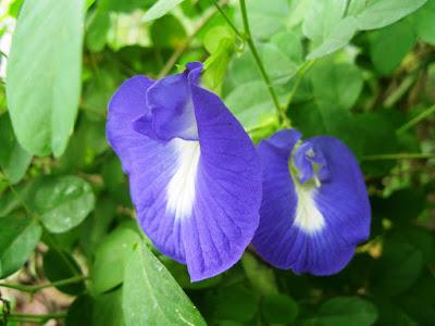 Bunga Telang - Punyai Banyak Khasiat Bagi Wanita