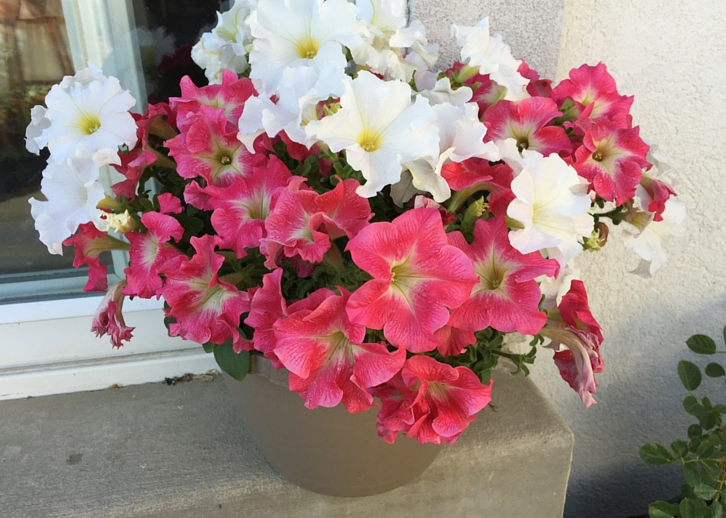 How To Grow Petunias The Joy Blog