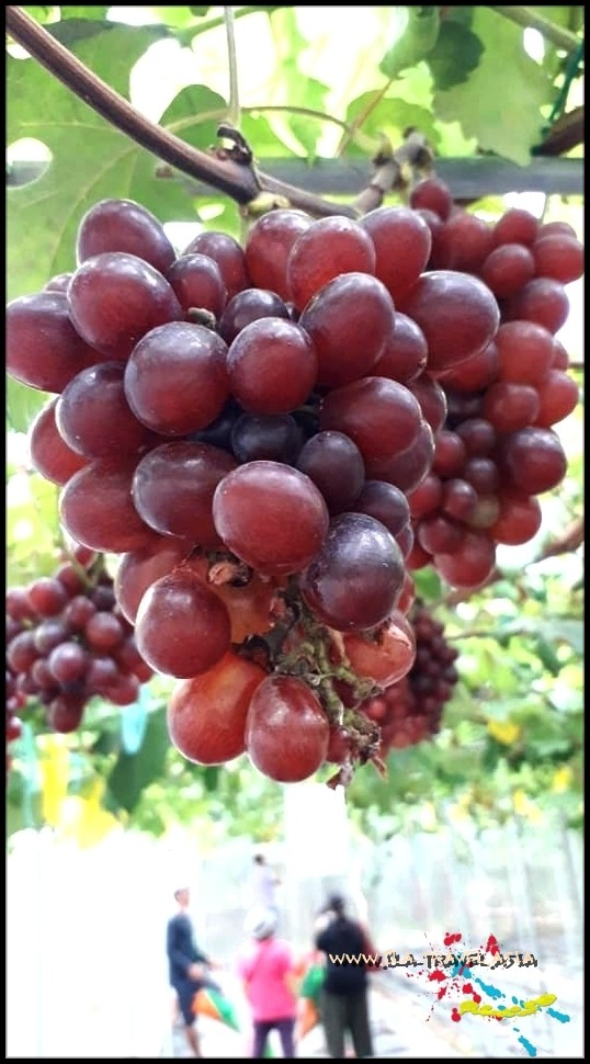 DESTINASI AGRO-TOURISM : TAMPARULI HEAVENLY GRAPES