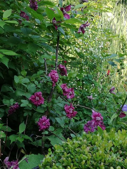 clematis Purpurea Plena Elegans