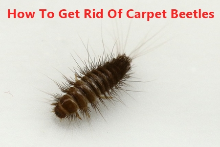 How To Get Rid Carpet Beetles Naturally