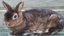 Konijnenrassen Rex konijn