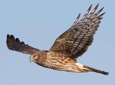 Harrier - Animals Beginning With H