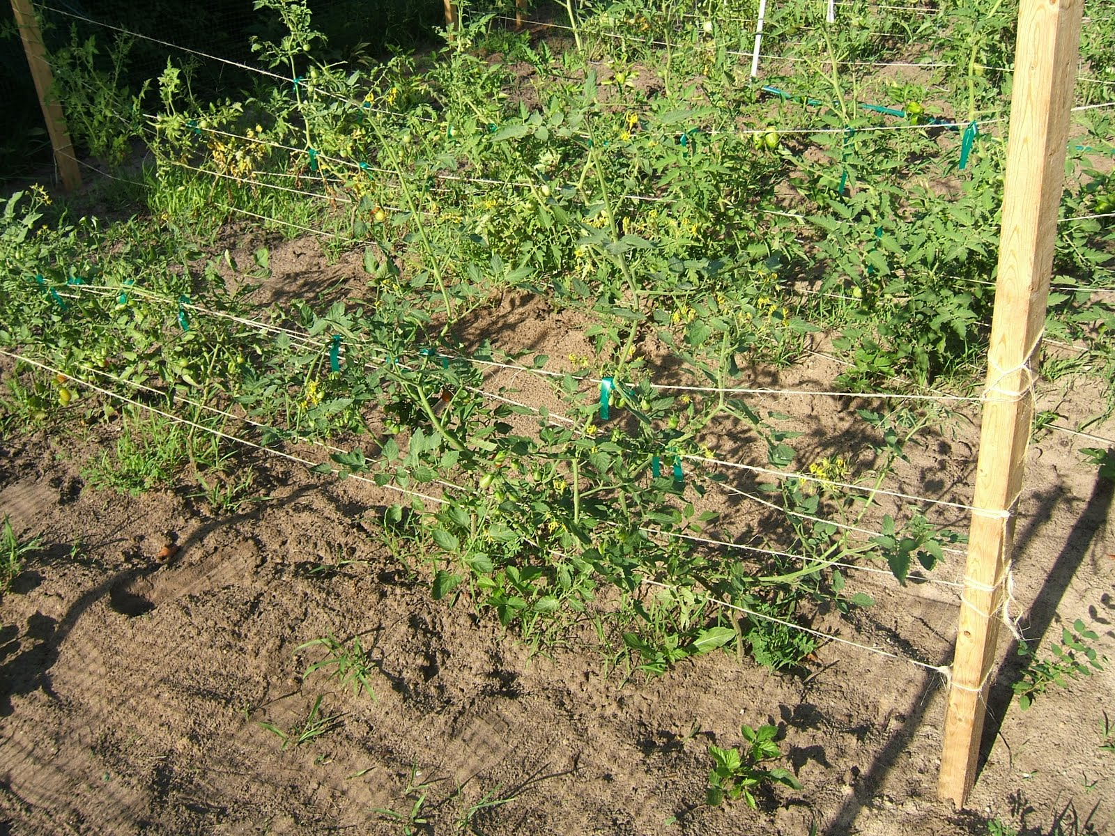 Staking: A Beginning Homestead: Staking Tomatoes