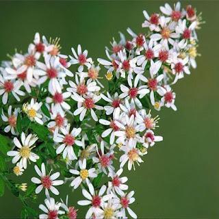Gambar Bunga Aster yang Cantik 4