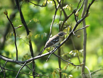 female rose-breasted grosbeak in trees