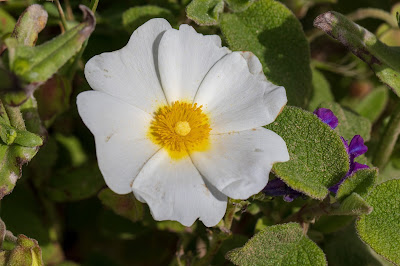 [Cistaceae] Cistus salviifolius - macro.