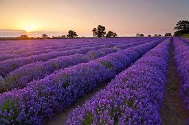 Tekhnik Merawat Bibit Bunga Lavender Yang Mudah