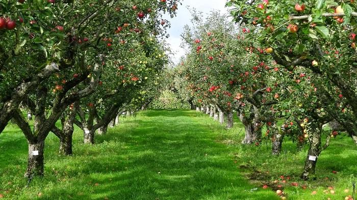 Plantas y flores plantas especies rboles frutales for Cuando se podan los arboles frutales