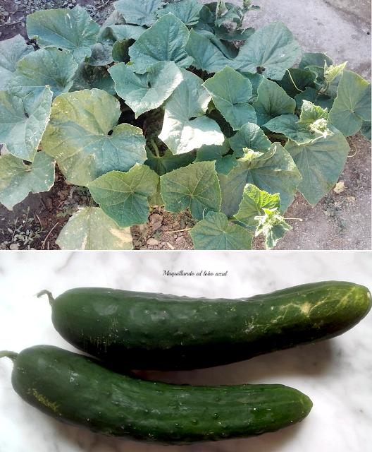Cultivo ecológico del pepino
