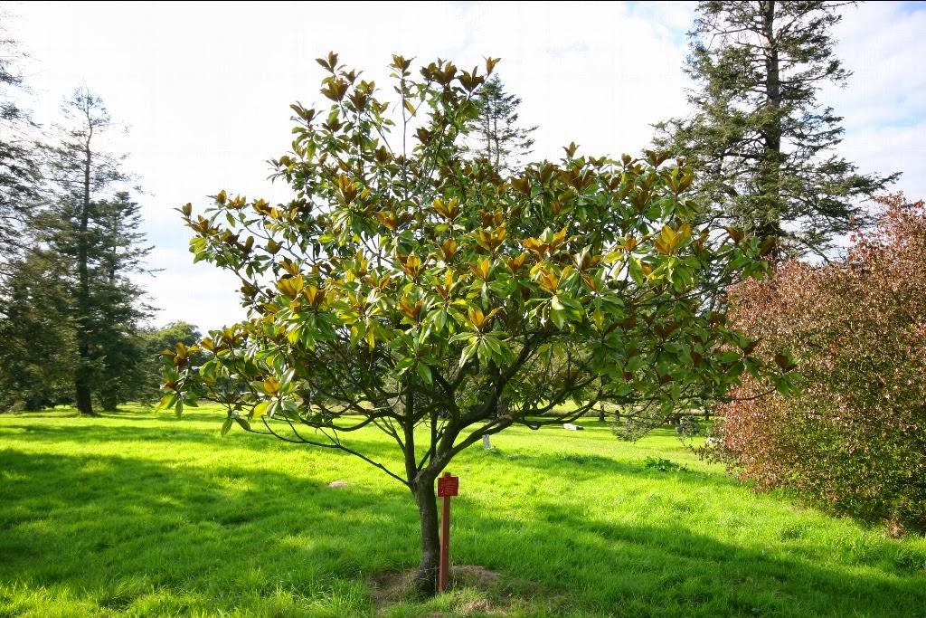 Tar m siteniz manolya magnolia grandiflora - Magnolia persistant petite taille ...