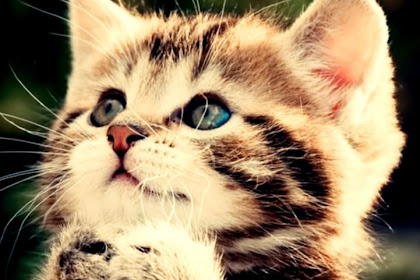 Cat Wallpaper Hd For Desktop