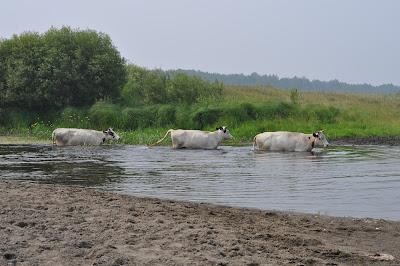 Коровы купаются