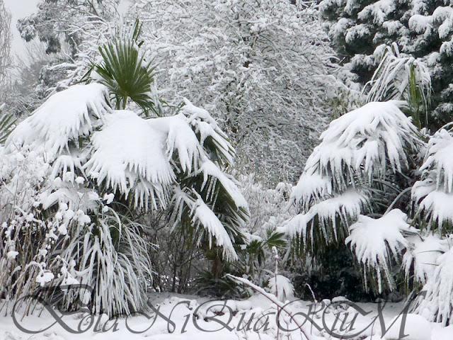 Botaniquarium - Trachycarpus fortunei in snow