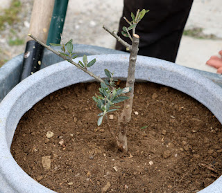 The sole surviving olive tree potted in so it can be sheltered in winter