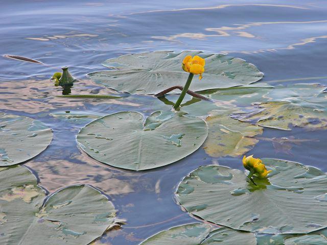 liście, żółte kwiaty, woda, Pszczew