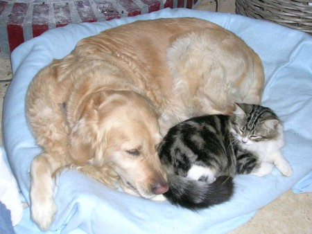 Golden Retriever con gato