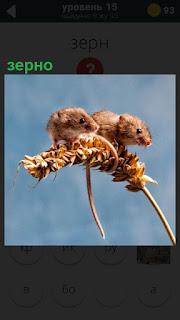 На колосе, в котором созрело зерно верхом сидят две мышки