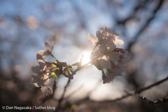 玉縄桜の花と太陽