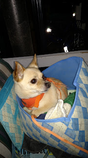 brown chihuahua type dog in a fabric box with rags