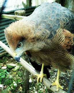 Gavião, Mini Zoológico de Aves - Santiago (RS)