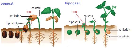 perkecambahan epigeal dan hipogeal