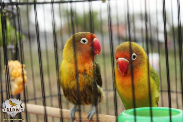 Perwatan lovebird Lussi