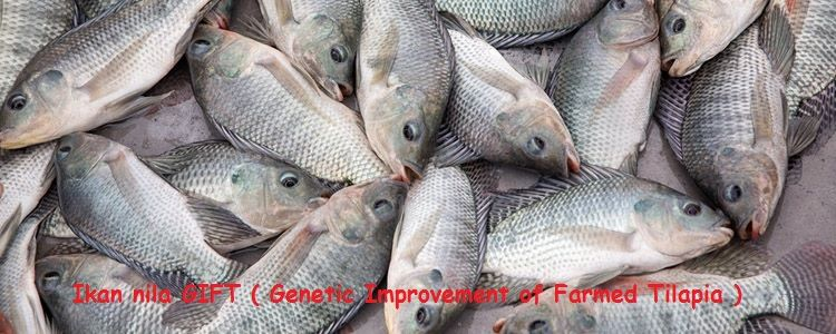 Jenis Ikan Nila - Ikan nila GIFT