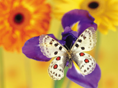 Beautiful Butterfly Normal Resolution Wallpaper 15