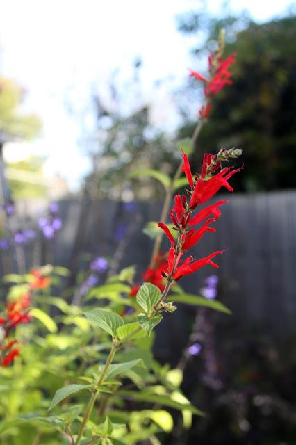pineapple sage, autumn flowers, autumn garden, salvia, Anne Butera, My Giant Strawberry