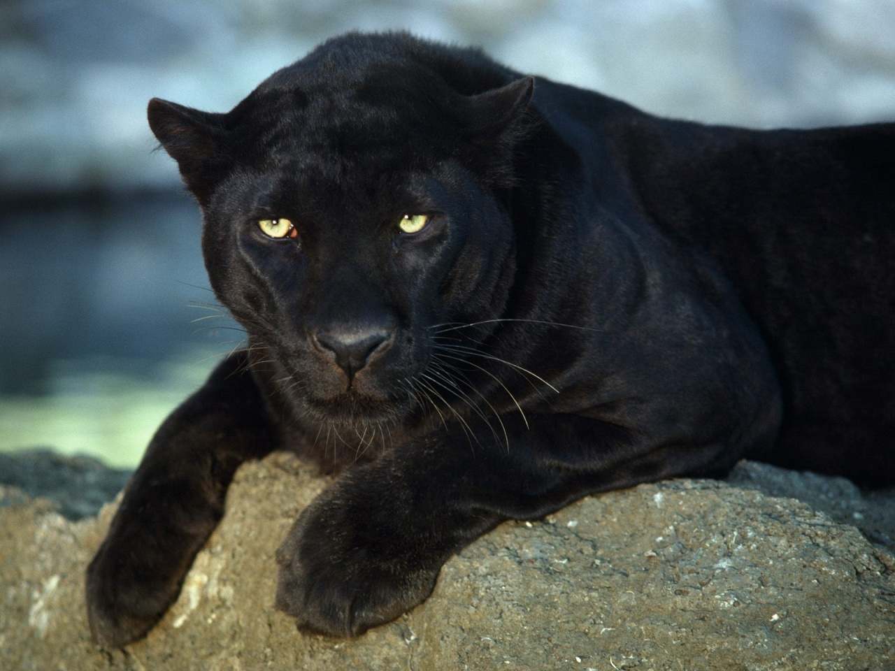 La Pantera Negra: Imagens De Pantera Negra « Grandes Felinos