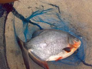 Cara Budidaya Ikan Bawal di Kolam Terpal