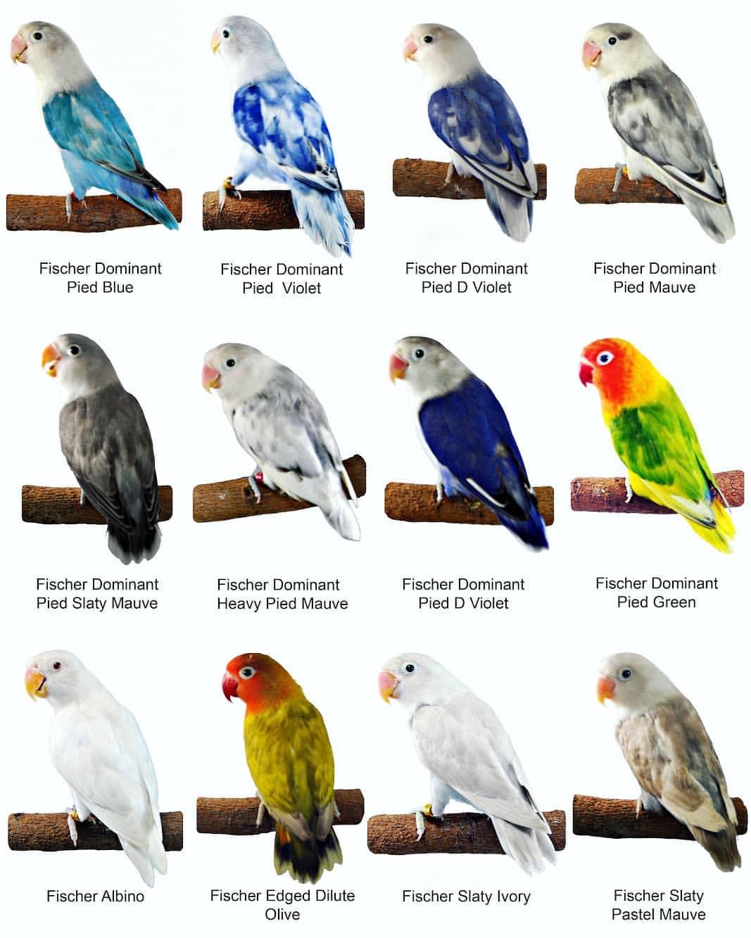 88 Foto Gambar Burung Lovebird Warna Hitam HD Terbaru