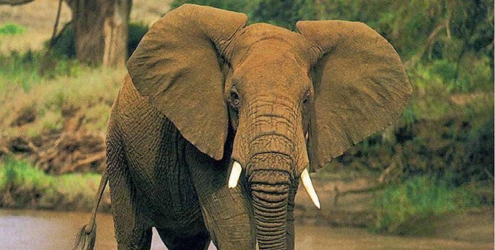 La selva y el elefante africano