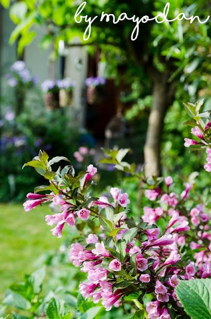 Weigelie im Garten
