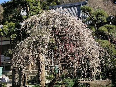 常立寺の枝垂れ梅