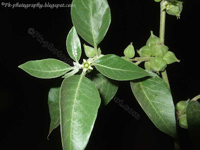 Ashwagandha-Withania somnifera Leaves