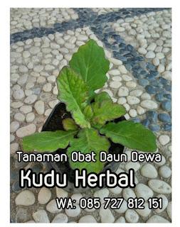 Jual Bibit Daun Dewa di Semarang