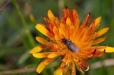 Hieracium aurantiacum – Orange Hawkweed (Sparviere aureo).