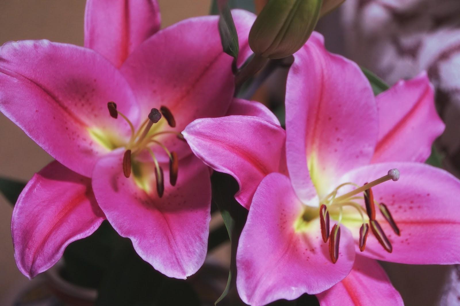 ピンクの百合の花