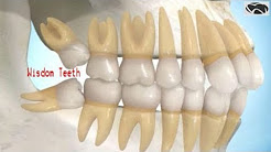 How many teeth do adults have?