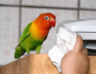 Berikan Jamu Untuk Burung Lovebird Hasilnya Jadi Ngekek Panjang - Rahasia Jamu Untuk Burung Lovebird