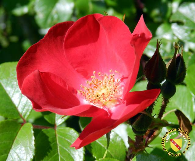 VILLERS-LES-NANCY (54) - La roseraie du Jardin botanique du Montet - Rose Robusta