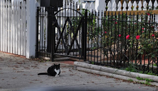 black and white cat on a sidewalk in front of iron fence and flowers