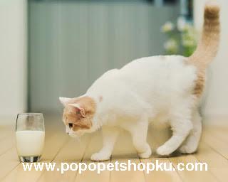 kucing minum susu - popopetshopku.com