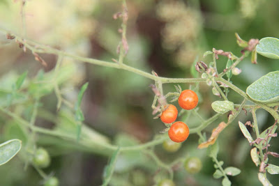 Solanum cheesmaniae