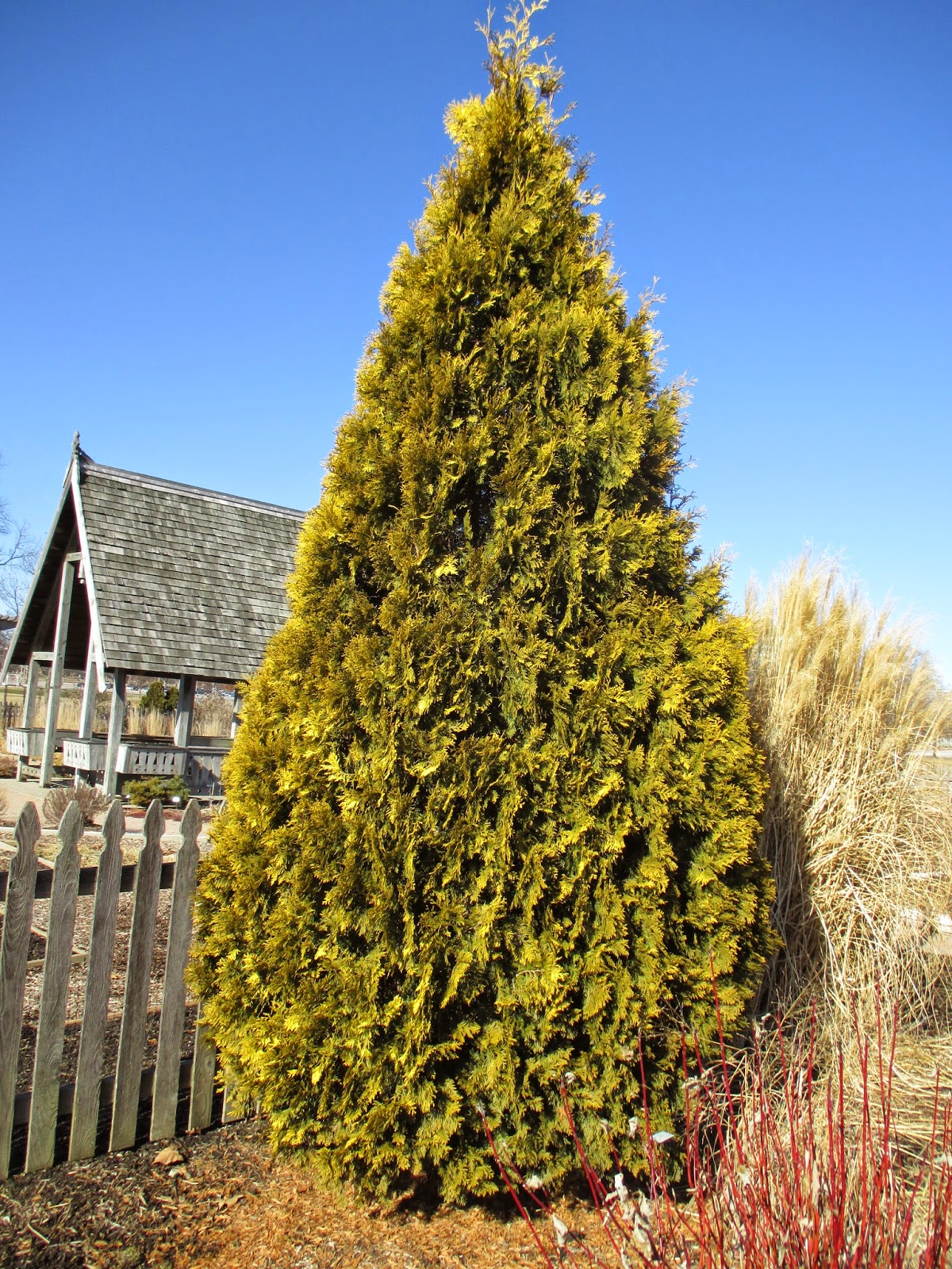 Thuja Yellow Ribbon Height Golden Conifers In Winter Rotary Botanical Gardens