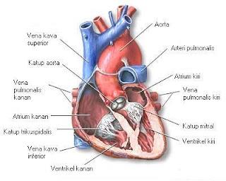 Fungsi Utama Jantung Beserta Cara Kerjanya